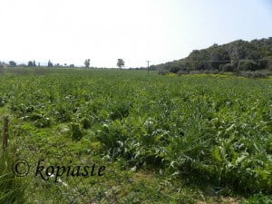 Artichoke Fields at Candia